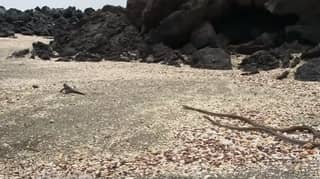 Snoop Dogg Narrates That Famous Iguana Vs Snake Scene From 'Planet Earth'