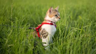 Australian Council Wants To Force Owners To Put Their Cat On A Leash When They're Outside