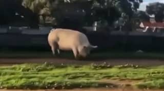 Huge Pig Escapes From Pen And Stuns Locals In Australian Suburb