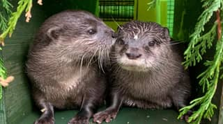 Lonely Otters Who Fell In Love Online Have Moved In Together