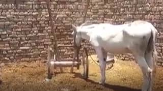 Donkey In Pakistan Is Arrested On Gambling Charges