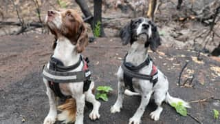 Trained Dogs Find Seven Koalas Alive In Bushfire-Affected Area