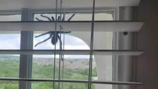 Couple Find Huge Tarantula Dangling Outside Their Window