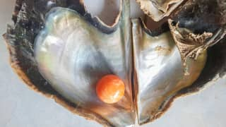 Fisherman Finds Rare Orange Pearl Worth Up To £250,000