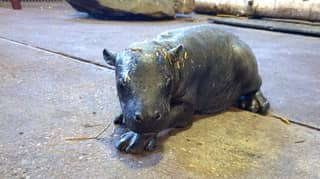 An Endangered Pygmy Hippo Calf Has Been Born At Colchester Zoo