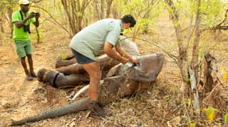 Wildlife Team Rescue Elephant Caught By Poacher's Snare