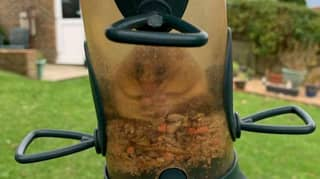 Greedy Dormouse Got Stuck In Bird Feeder And Ate So Much It Couldn't Get Out