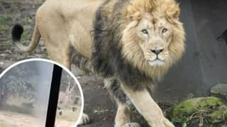 Horrified Visitors Watch As Man Is Mauled To Death By Lion After Climbing Into Enclosure