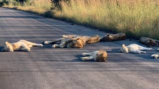 Lions Sunbathe On Road In National Park Due To Lack Of Tourists