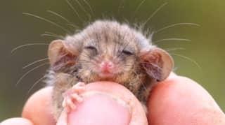 Little Pygmy Possum Discovered On Kangaroo Island