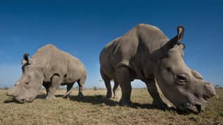 Last Two Northern White Rhinos Live Under 24-Hour Armed Guard To Protect Against Poachers