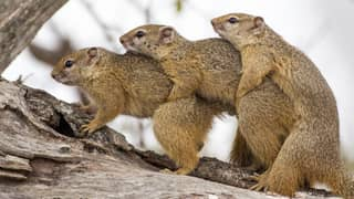 Squirrels' Tree Threesome Leaves Mongoose Photographer Stunned