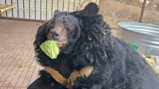 Chonky Bear That Was Rescued From Horrid Conditions Starts Diet