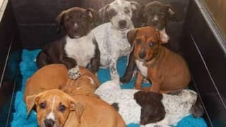 Special Taskforce Launched To Crackdown On Puppy Farms In New South Wales