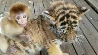Baby Monkey Becomes Best Friends With Tiger Cub At Zoo