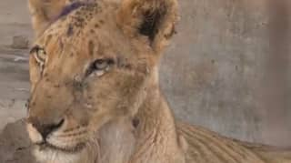 Harrowing Footage Shows Emaciated Lion At Sudan Zoo