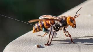 First Murder Hornet Nest Found In The US