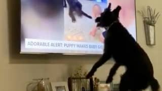 Video Shows Heartwarming Moment That Dog Recognises Himself On The TV