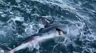 Fisherman Furious After Great White Shark Takes Bite Out Of Prize Tuna