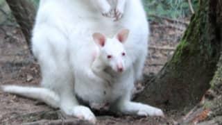 Zoo Fears That Missing Albino Kangaroo Joey Has Been Stolen
