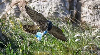 Peregrine Falcon Picks Up Discarded Face Mask Before Flying Off