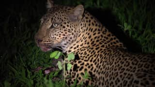 Tense Footage Shows Leopard Stealing Food Out Of Crocodile's Mouth