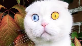 Stunning Cat Called Joseph Has Two Different Coloured Eyes