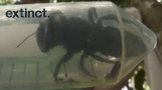 World's Biggest Bee Thought To Be Extinct Has Been Rediscovered