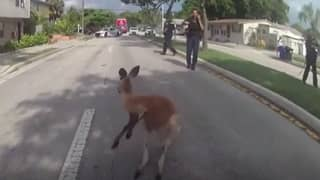Body-Cam Footage Shows US Police Chasing And Capturing Escapee Kangaroo
