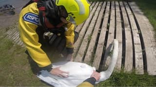RSPCA Investigating After Mating Swans Found Injured With Their Eggs Missing