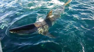 Great White Shark Takes A Bite Of A Boat For Lunch