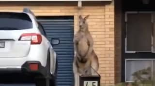 Video Captures Kangaroo Standing Outside Someone's Home Like Bouncer