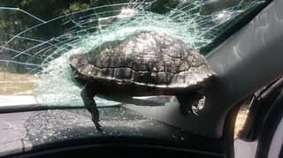 Pair Avoid Serious Harm After Turtle Crashes Through Their Car Window