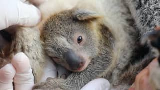 Aussie Park Thrilled As First Koala Is Born Since Devastating Bushfires