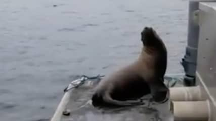 Woman Sparks Debate After Kicking Sea Lion Off Boat Into Pod Of Killer Whales