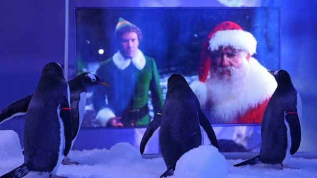 Gentoo Penguins At London Aquarium Treated To Christmas Film Screenings During Lockdown
