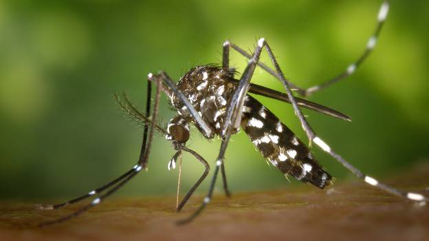 UK Warned To Close Windows As Asian Tiger Mosquitos Arrive