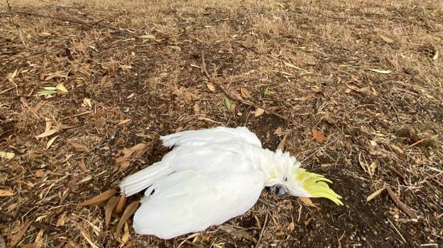 It's So Hot In Australia That Animals Are Literally Dropping Dead From Exhaustion