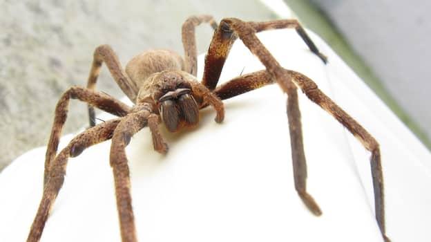 Huntsman Spider Population Has Exploded Across Australia