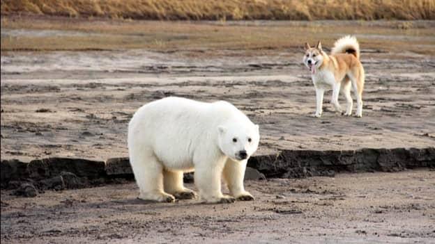 Polar Bear Cub Found 450 Miles Away From Natural Habitat