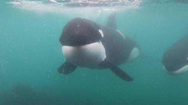 Man Comes Face-To-Face With Two Killer Whales While Swimming