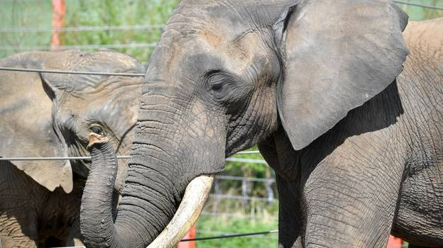 UK Set To Ban Zoos And Safari Parks From Keeping Elephants