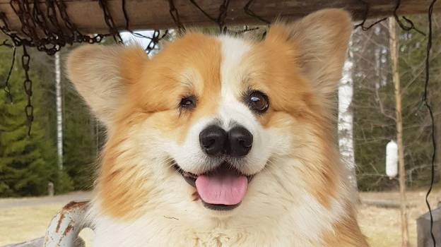 Corgi Born With One Eye And Two Noses Defies Vets' Expectations