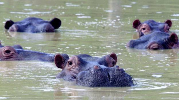 Pablo Escobar's 'Cocaine Hippos' Are Being Sterilised By Colombian Government