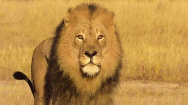 Outrage Sparked After Poacher Kills 'Mighty' Lion With A Bow And Arrow
