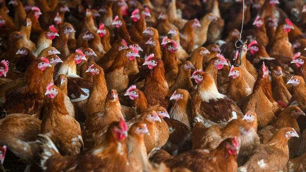 The First Cases Of H5N8 Bird Flu In Humans Have Been Detected