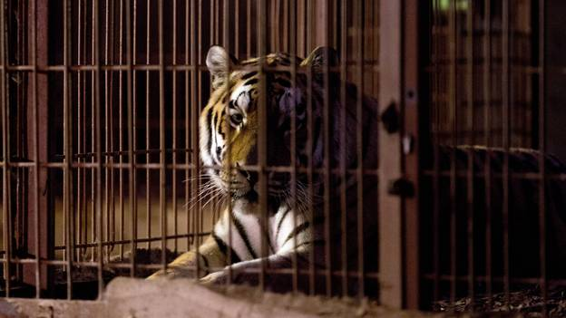 There Are More Captive Tigers In US Than Entire Wild Population