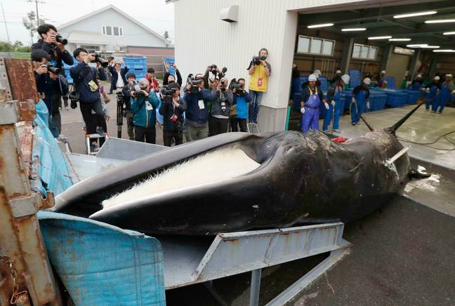 Commercial whaling has been reinstated in Japan. Credit: PA