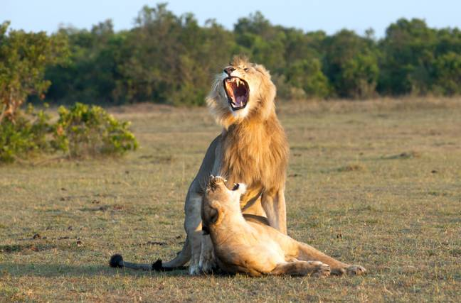 The intimate moment took place at Maasai Mara National Reserve in Kenya. Credit: Caters