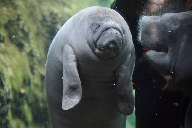 In 2015, it was estimated there are only 10,000 West African manatees living in the wild. Credit: PA